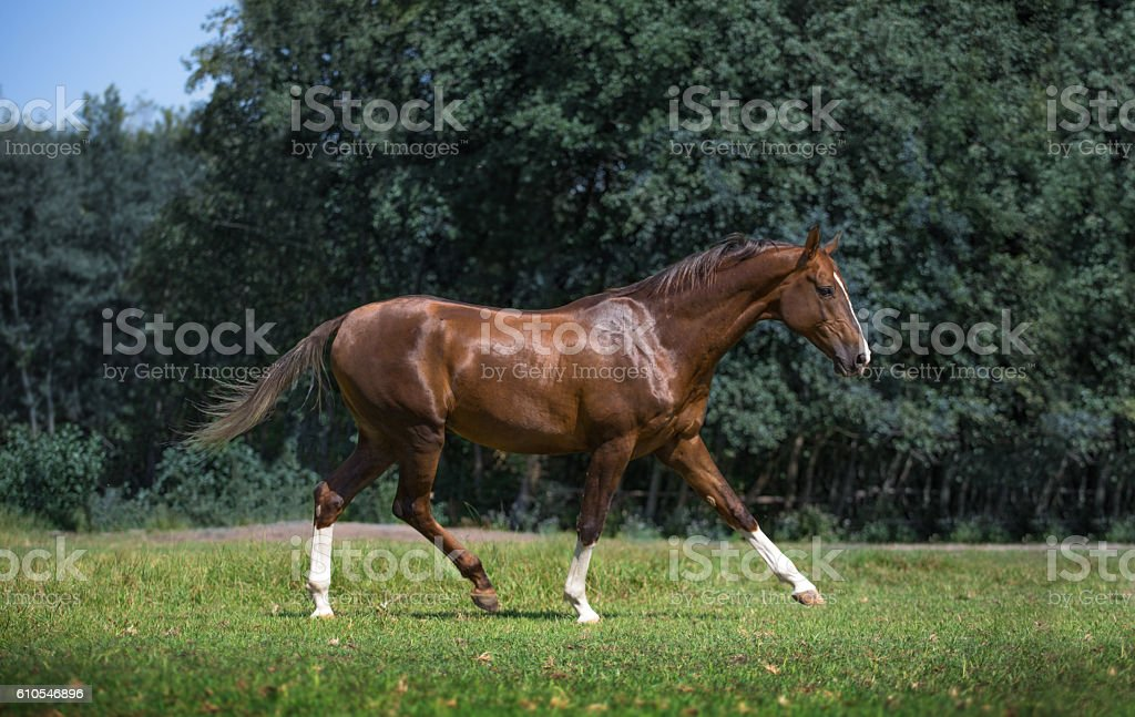 Red Akhal-Teke horse steps stock photo