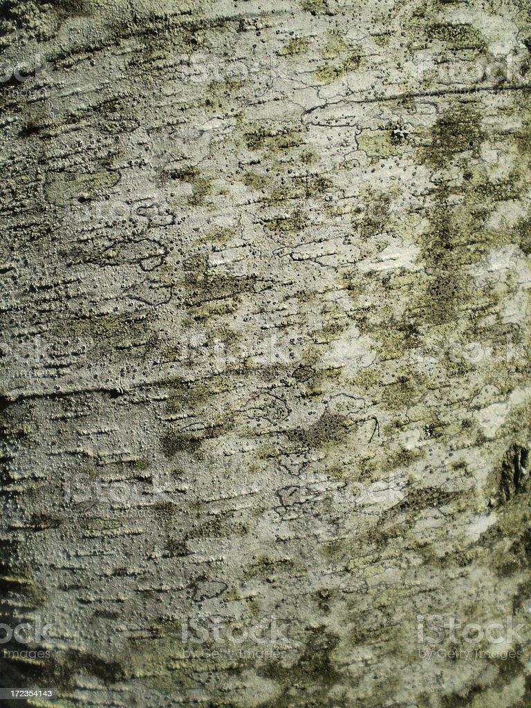 Red Alder bark royalty-free stock photo