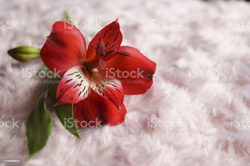Red Alstroemeria Flowers Peruvian Lily Or Lily Of The Incas Stock Photo Download Image Now Istock