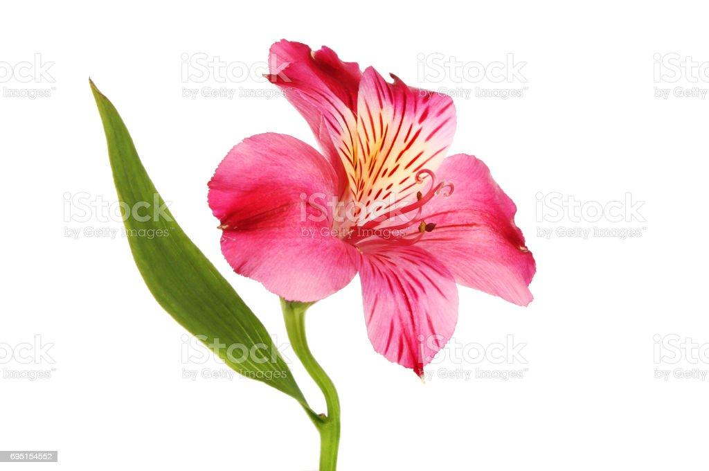 Red alstroemeria stock photo
