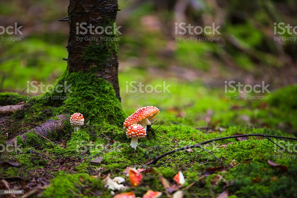 red Amanita muscaria autumn forest stock photo