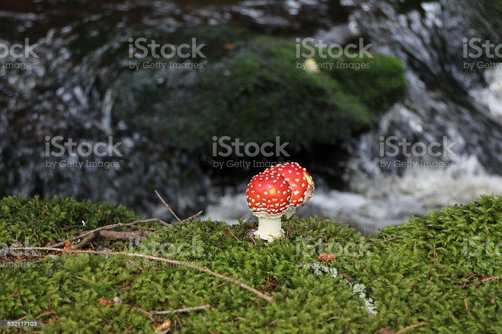 Red Amanita mushroom by the creek stock photo