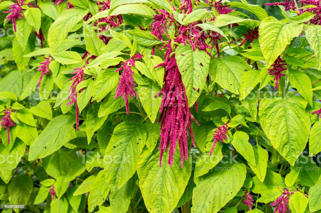 Red Amaranth in full bloom growing in the garden stock photo