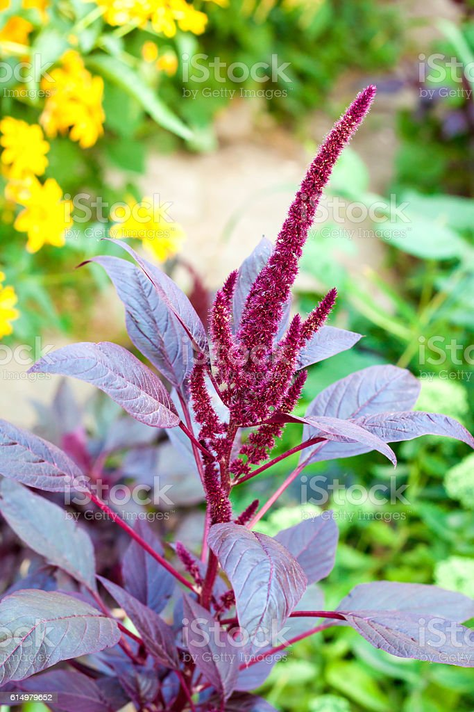 Red amaranth (Amaranthus cruentus) inflorescence stock photo