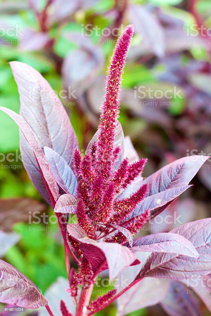 Red amaranth (Amaranthus cruentus) stock photo