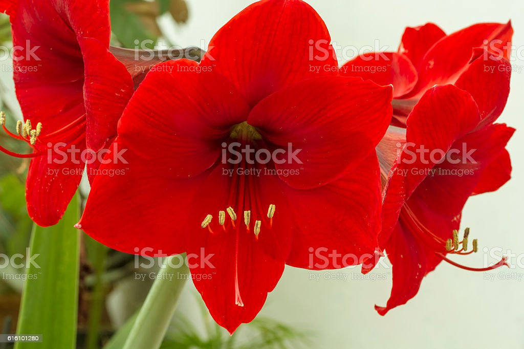 Red Amarilis Flower stock photo