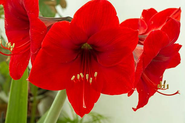 red amarilis flower - amaryllis photos et images de collection