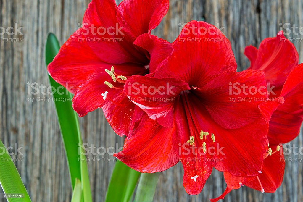 Red amaryllis against a rustic wood background stock photo