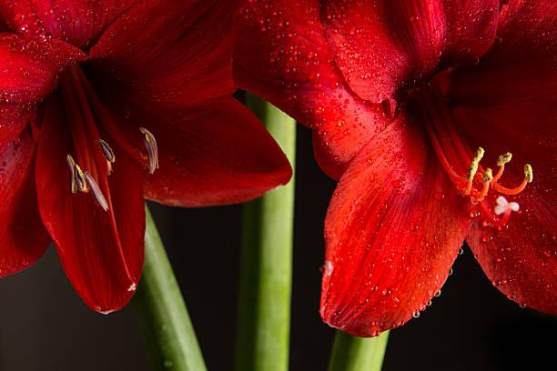 red amaryllis fleur sur fond noir. hippeastrum hortorum. - amaryllis photos et images de collection