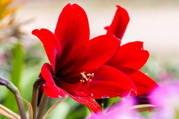 amaryllis fleur rouge - amaryllis photos et images de collection