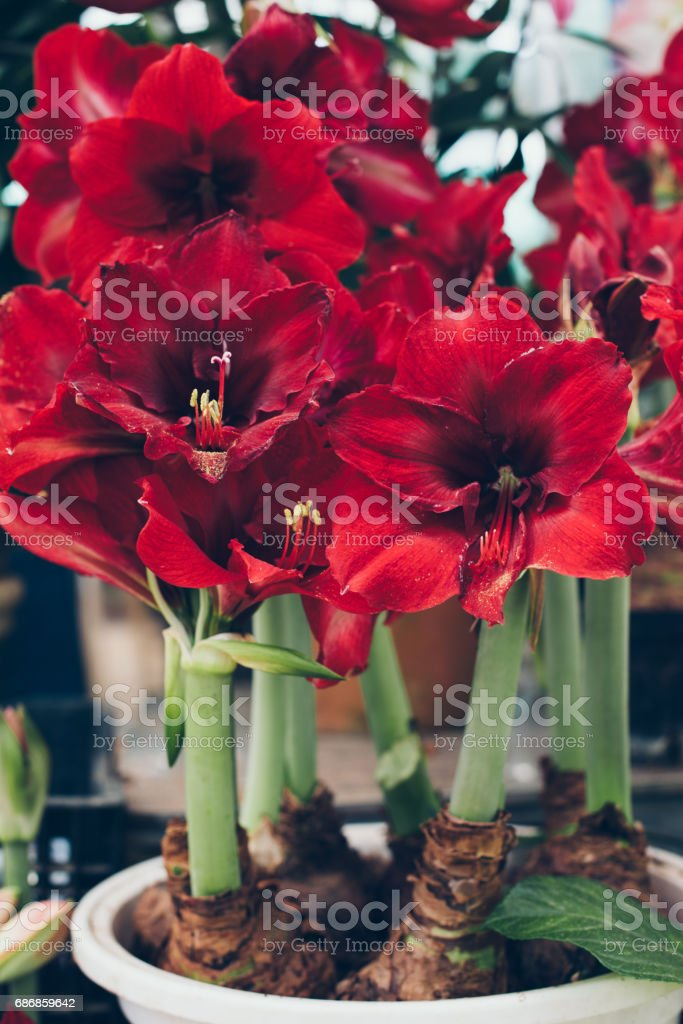 Red Amaryllis flowers in pot stock photo