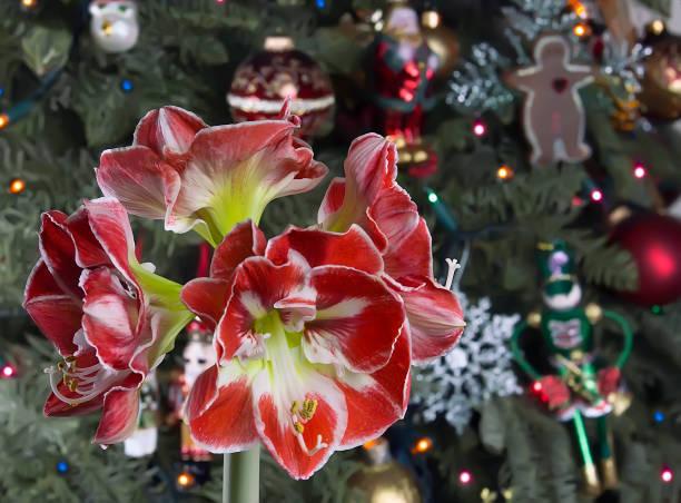 amaryllis rouge sur fond de sapin de noël. - amaryllis photos et images de collection