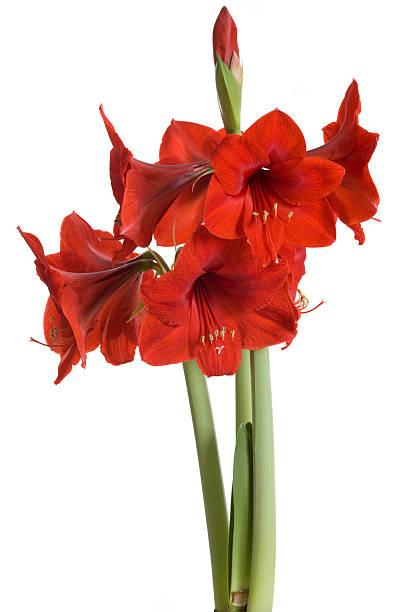 red amaryllis sur fond blanc (hippeastrum - amaryllis photos et images de collection