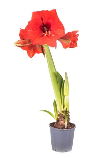 red amaryllis - amaryllis photos et images de collection