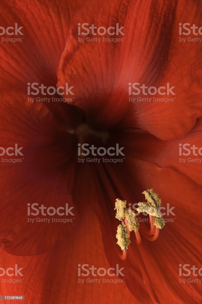 Red Amaryllis-Close-up Vt royalty-free stock photo