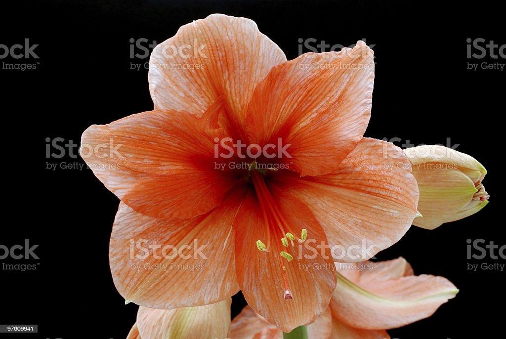 Rouge & Fleur blanche photo libre de droits