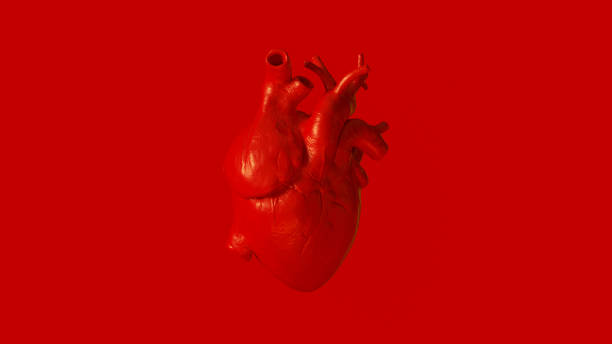 Red Anatomical Heart Red Anatomical Heart 3d illustration 3d render human heart stock pictures, royalty-free photos & images