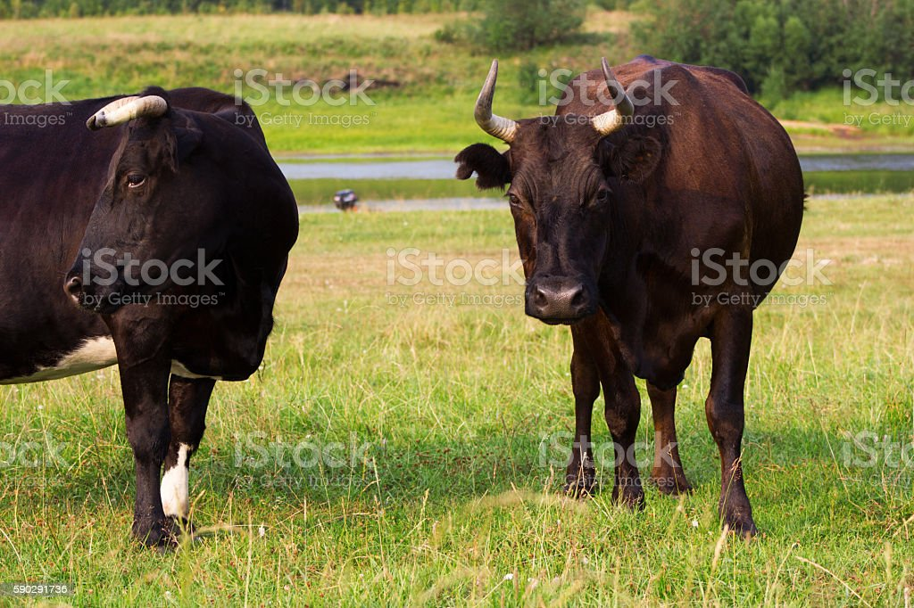 Red and black cows royaltyfri bildbanksbilder
