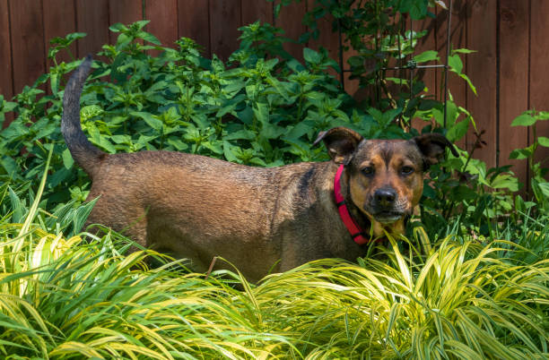 Red and black dog eats grass while standing in a garden stock photo