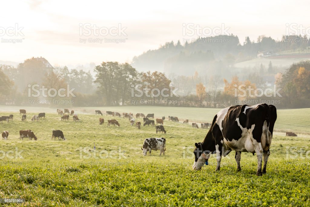 Red and black Holstein cows are grazing on a cold autumn morning on a meadow in Switzerland stock photo