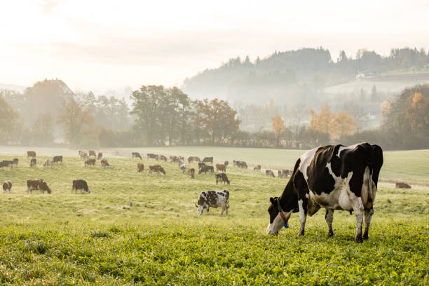 red and black holstein cows are grazing on a cold autumn morning on a meadow in switzerland - farm stock pictures, royalty-free photos & images