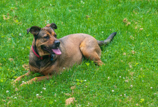 Red and black mixed breed dog sitting in the grass stock photo