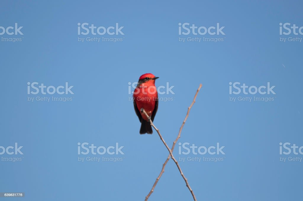 Red and black songbird perched stock photo