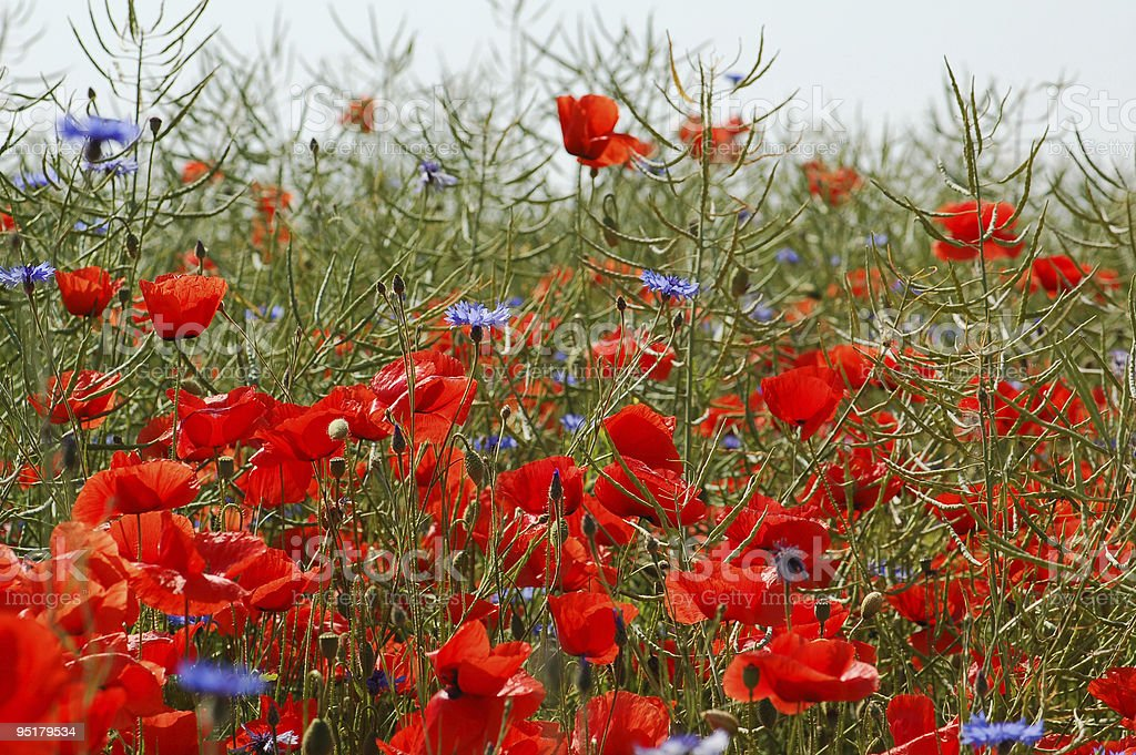 red and blue Corn Poppy in rapeseeds field royalty-free stock photo
