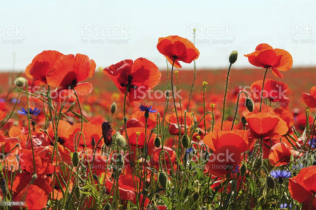 red and blue Corn Poppy stock photo