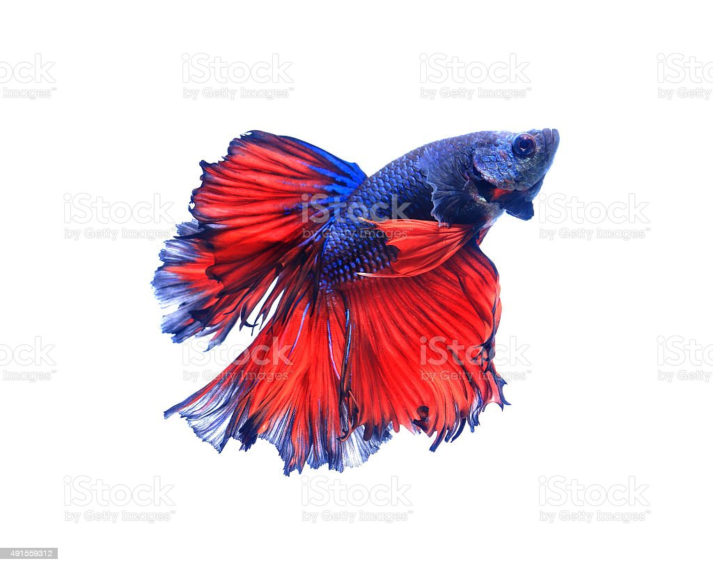 Red and blue half moon butterfly  siamese fighting fish, betta stock photo