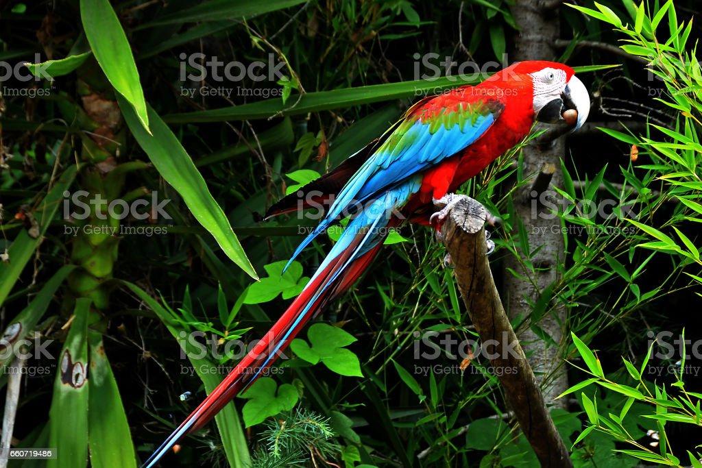 Red and Blue macaw. - foto de acervo