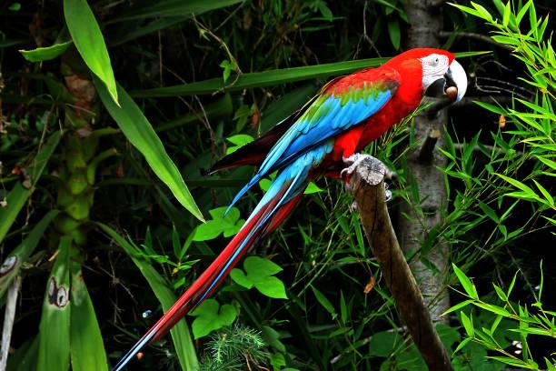 red and blue macaw. - arara vermelha retrato - fotografias e filmes do acervo