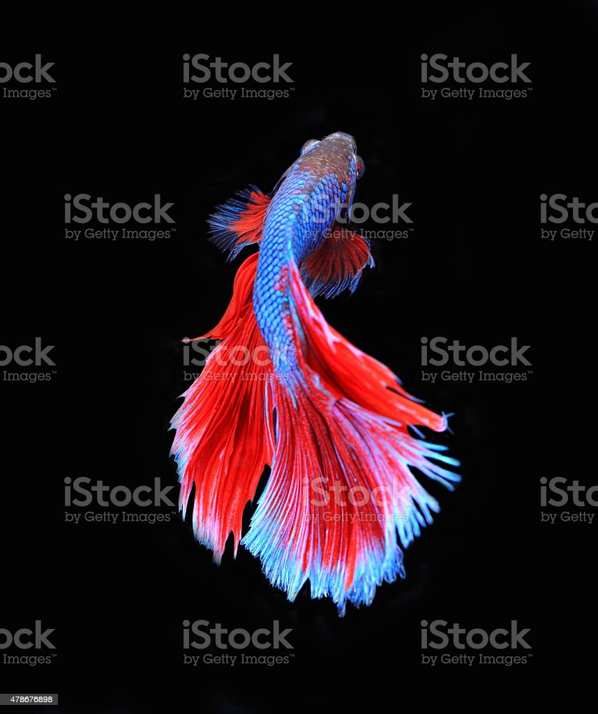 Red And Blue Siamese Fighting Fish Betta Fish Stock Photo More