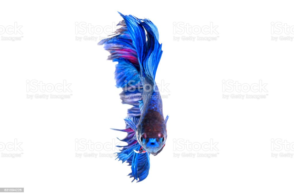 Red and blue siamese fighting fish. stock photo