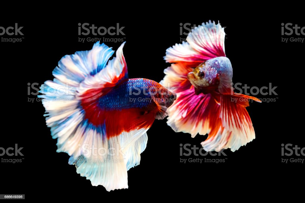 red and blue Thai betta fighting fish with full body top form to fight isolated on black royalty-free stock photo