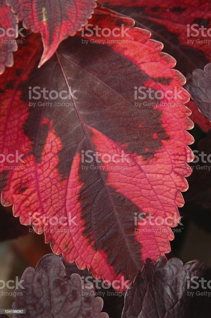 Red and brown Coleus leaf. stock photo