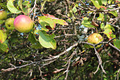 Red and gold apples on an apple tree, horizontal aspect
