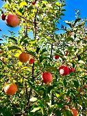 Red And golden fresh organic apples in a tree at a orchard