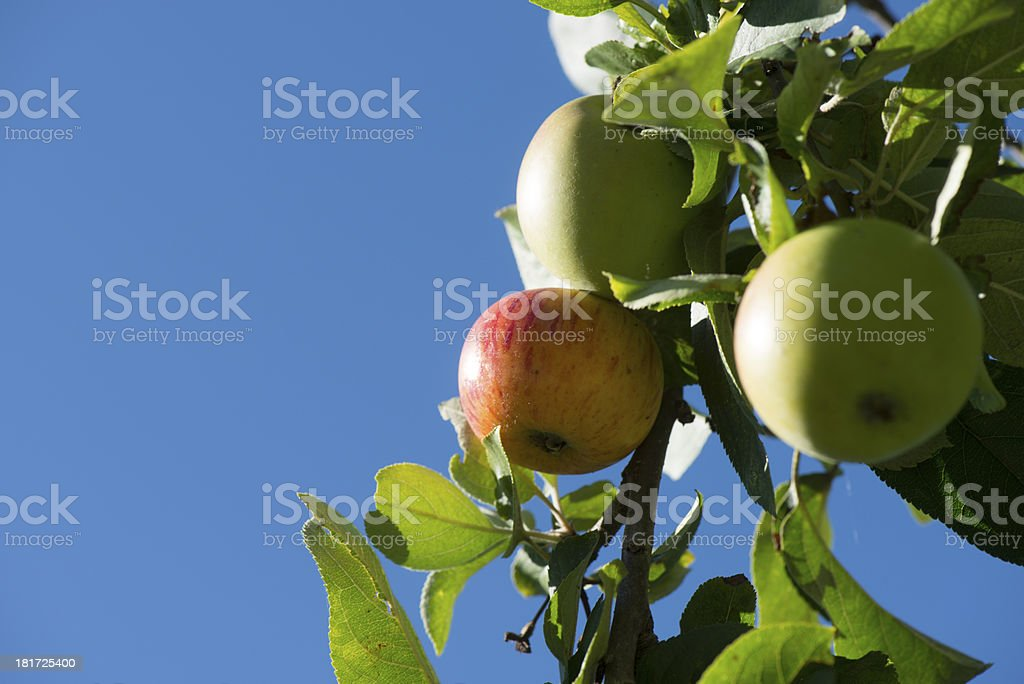 Red and green apples on the tree royalty-free stock photo