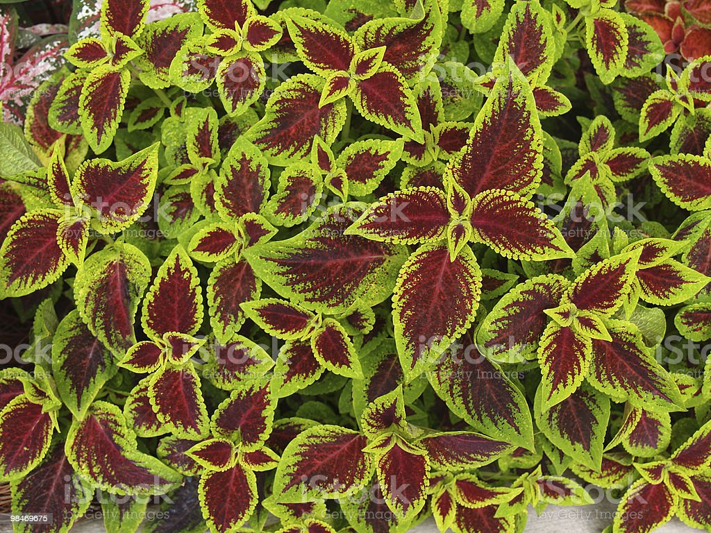 Red and Green Coleus royalty-free stock photo