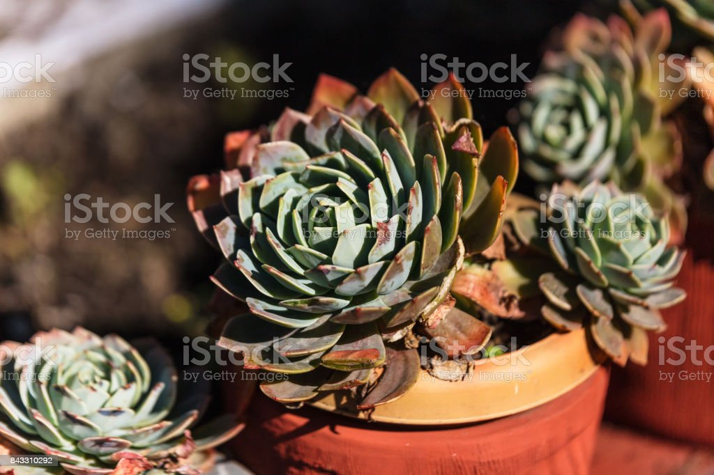 Red and green Crassulaceae grow from blue ground stock photo