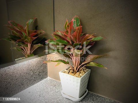 Red and green Croton plant in white vase reflecting to mirror dark grunge tone