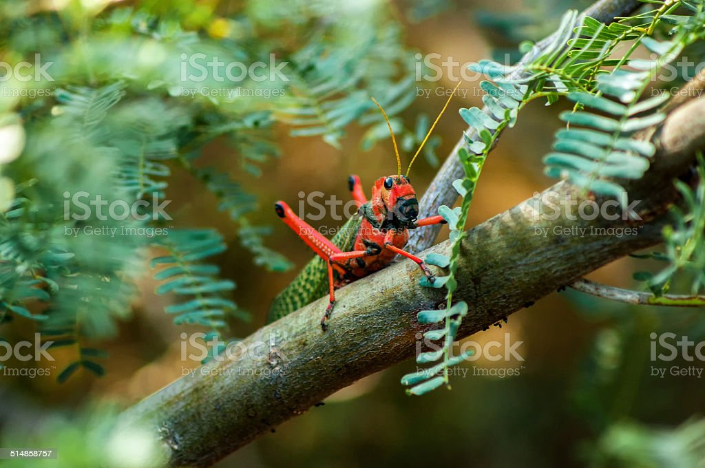 Red and Green Grasshopper stock photo