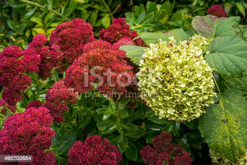 Large flower blossoms of the hydrangea flower in read and green