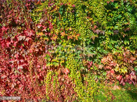 Red and green ivy climbing a wall in Oregon in autumn