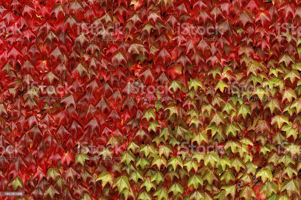 red and green ivy texture stock photo