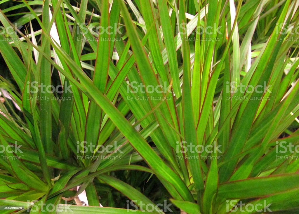 Red and green leaves of Dragon tree, Dracaena marginata houseplant stock photo