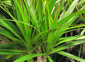 Red and green leaves of Dragon tree, Dracaena marginata houseplant