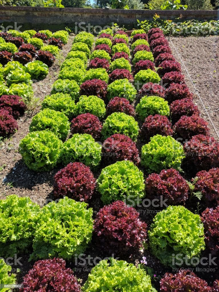 Red and green lettuce pattern stock photo