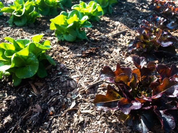 Red and green lettuces growing in the garden stock photo